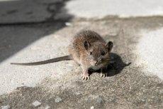 Szczur w mieście.
