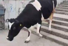Krowa spacerowała po wrocławskiej ulicy