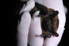 Nietoperze to nie tylko domena jaskiń i niezamieszkałych strychów. Zdarza się, że wlatują do domów.