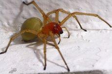 Kolczak zbrojny jest uznawany za najbardziej jadowitego pająka w Polsce.