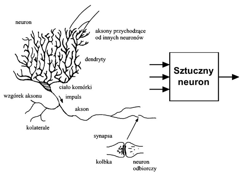 Zarówno biologiczna komórka nerwowa, jak i sztuczny neuron zawierają wiele wejść i jedno wyjście.