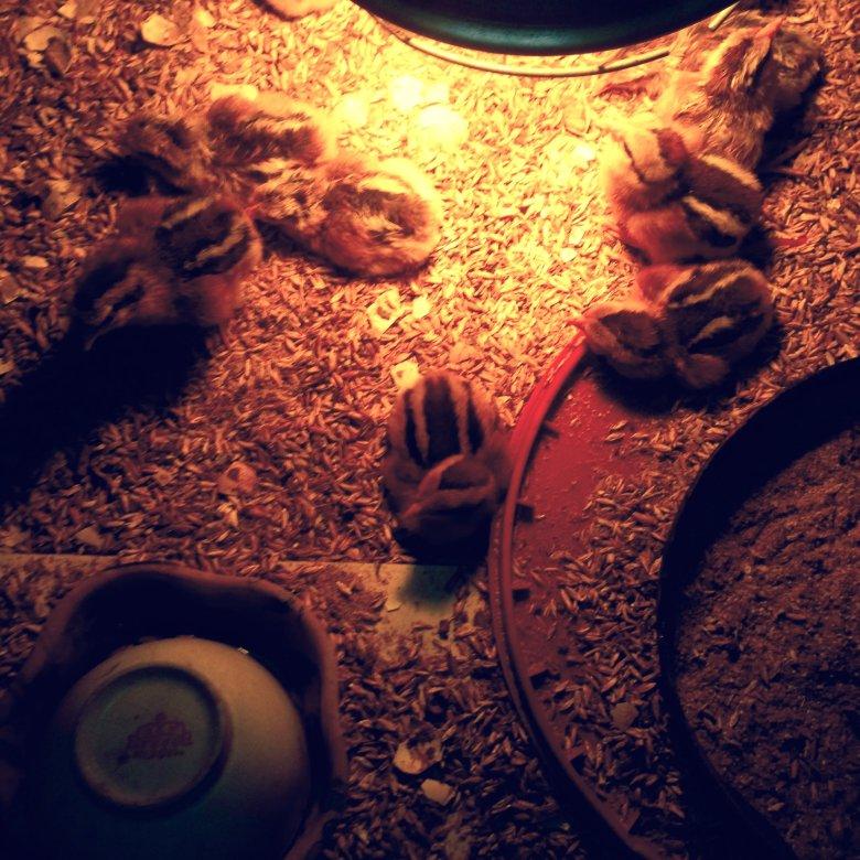Młode kurczaczki pod lampą