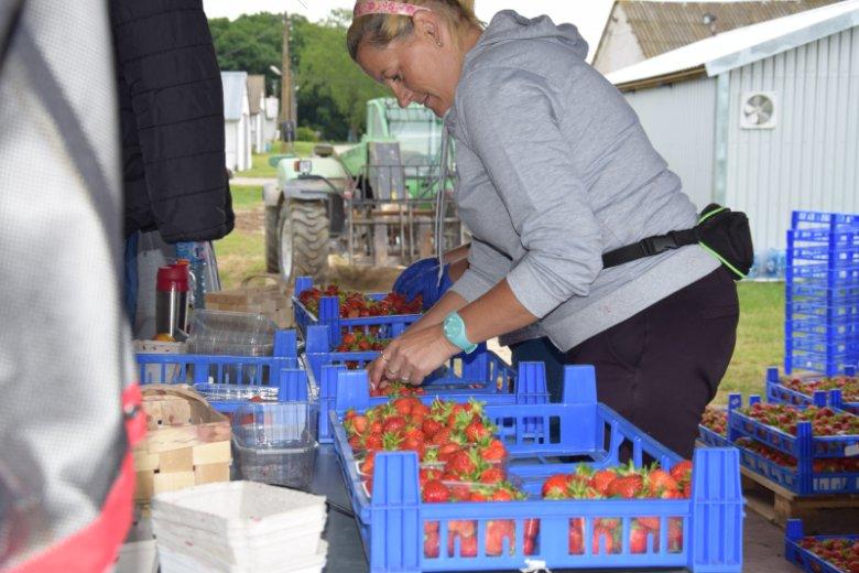 Spółka zatrudnia pracowników sezonowych do zbioru truskawek.