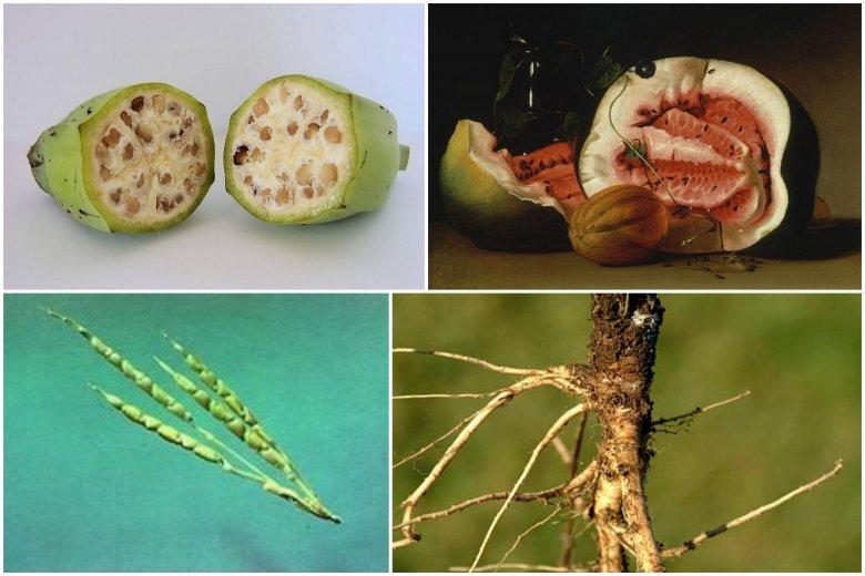 Od lewej : dziki banan, XVII-wieczny arbuz, pierwotna kukurydza oraz dzika marchew.