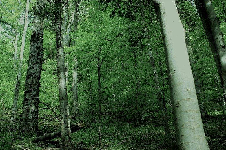 Karpackie buczyny nie znajdą się na liście UNESCO.