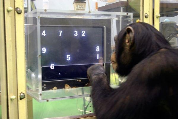 Szympans w zadaniu na rozumienie porządkowego aspektu liczby - wyłącza cyfry pokazujące się w losowym układzie na ekranie od najmniejszej do największej