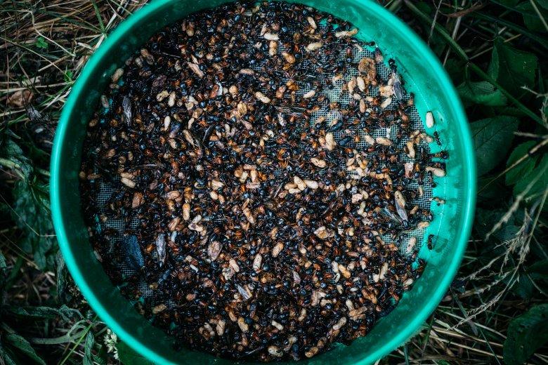 Prażone mrówki...kwaśne i chrupiące.