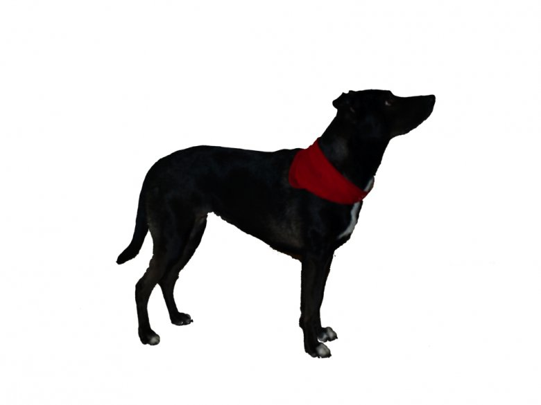 """Tym razem Lara z chustkąna szyi - pies stracił na """"agresywności"""" ale nie nabrał jeszcze cech przyjaznych ludziom"""