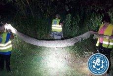 Wylinkę pytona tygrysiego znaleziono w Gassach pod Konstancinem.