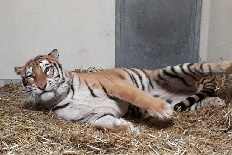 Jeden z uratowanych tygrysów. Tutaj już w zoo w Poznaniu.