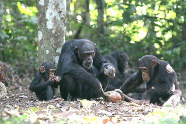 Horda 12 szympansów (3 pokolenia) w lasach Bossou, w Gwinei, w Afryce Zachodniej. Badane regularnie od 30 lat. Od 1986 roku, Matsuzawa odwiedza je raz w roku badając zmiany rozwojowe w technologii użycia narzędzi. Technika ta jest zazwyczaj opanowane w wi