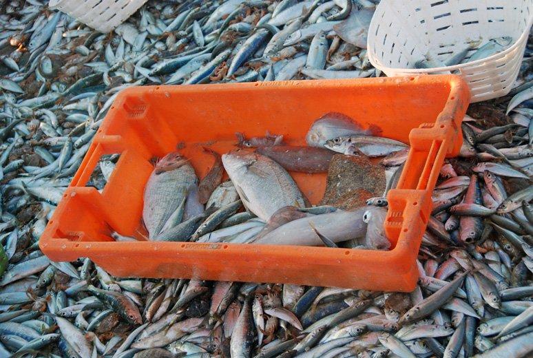 Przyłów - przy takiej ilości sardynek, makreli i ostroboków jak widać marginalny.