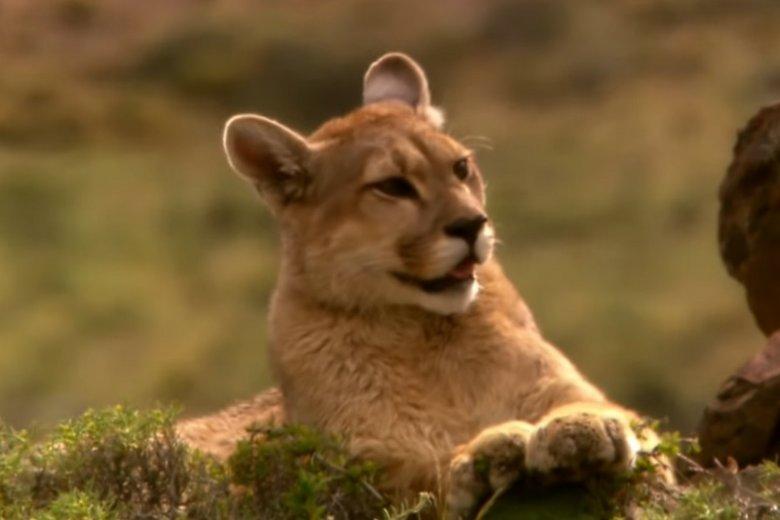 Puma mogła być widziana w okolicach Pszczyny.