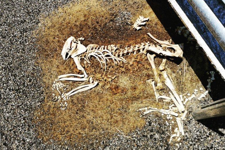 Ciało tego kangura wypadło za barierki i nie zostało sprzątnięte.