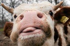 Krowa z Dobrej w Wielkopolsce nie chciała iść na rzeź. Podjęła się desperackiej ucieczki.