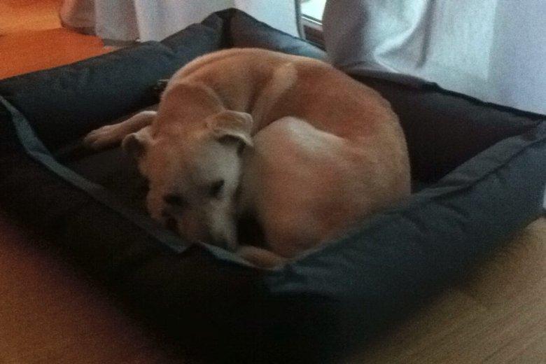 Dżimi śpiący, zwykle anektuje kanapę, z której trudno go zgonić.
