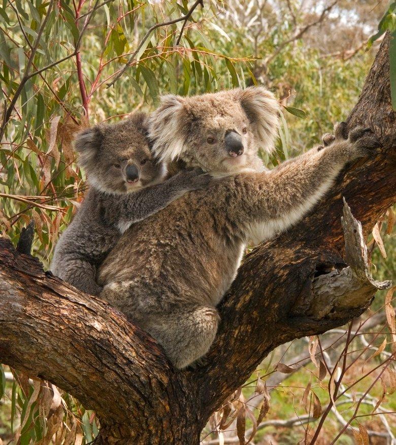 Misie koala
