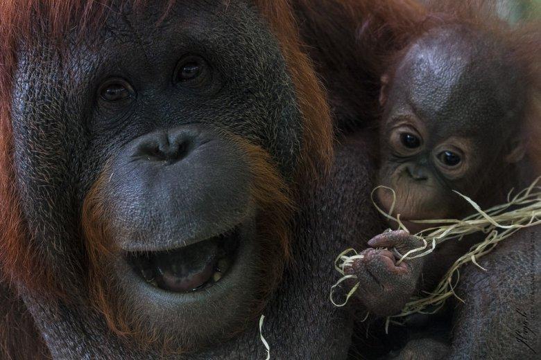 Orangutania mama z pociechą