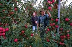 Powrót akcji jedz jabłka? Unia płaci groszowe rekompensaty za owoce. Z warzywami jest jeszcze gorzej