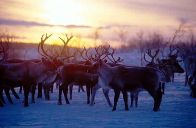 Stado reniferów o zachodzie słońca