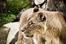 Radość lwów po latach rozłąki była ogromna.