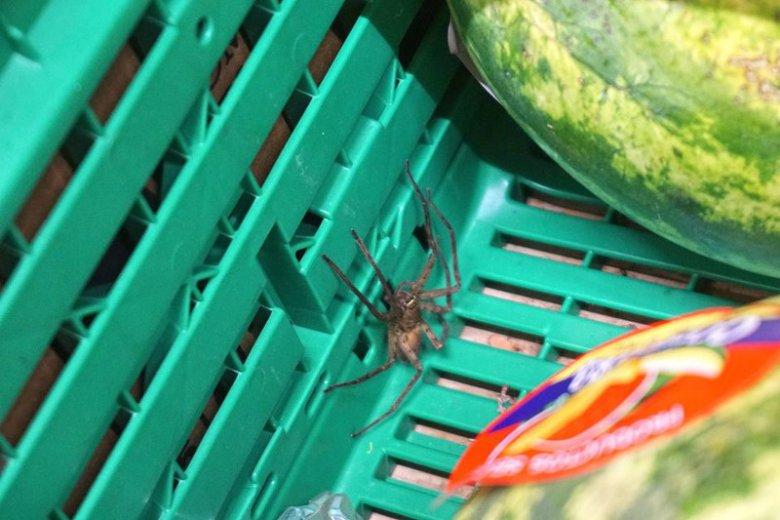 """Takiego """"stwora"""" znaleźli w bananach klienci Carrefoura przy Czerskiej."""