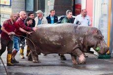 Dzikie zwierzęta, które uciekły z ZOO chodzą po ulicach Tbilisi.