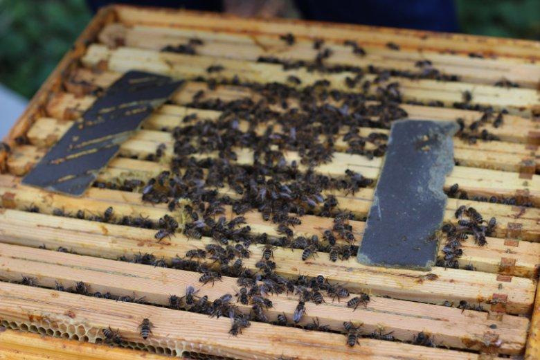 Pszczoły hodowane w mieście wzbogacają bioróżnorodność miejskich przestrzeni