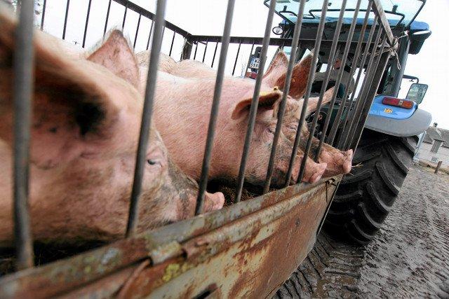 Świnie od polskich hodowców mają zakaz wjazdu do Rosji. Oznacza to wysokie straty dla rolników i firm mięsnych