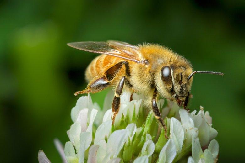 Pszczoła jest jednym z najbardziej pracowitych zwierząt na świecie. Modą staje się zakładanie dla nich uli w dużych miastach