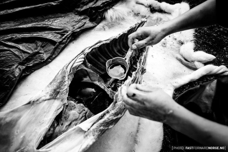 Krew, którą trzeba zebrać zanim stężeje, używana jest do wyrobu tradycyjnych kiełbas.