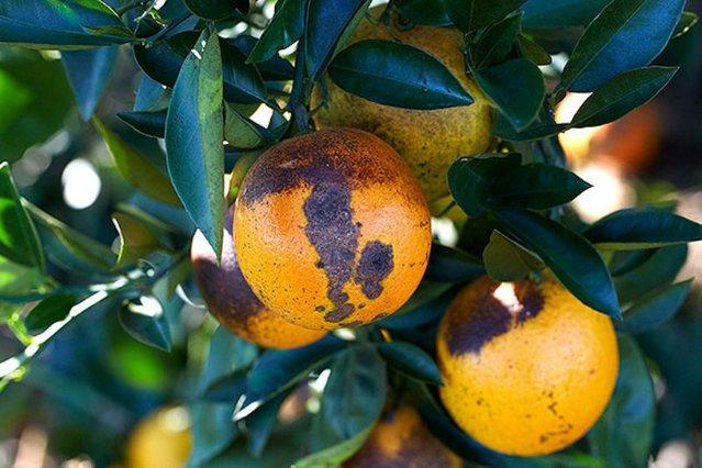 Pomarańcze mogą już niedługo na powrót stać się towarem luksusowym