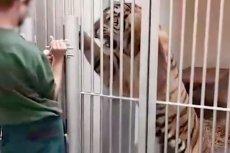 Niektóre z ocalałych tygrysów są bardzo agresywne.