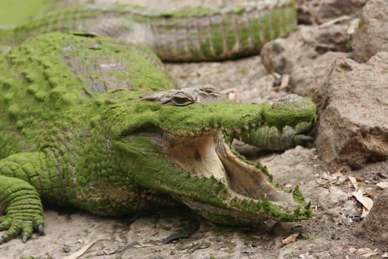 A tu już nieco znudzony naszym towarzystwem krokodyl.