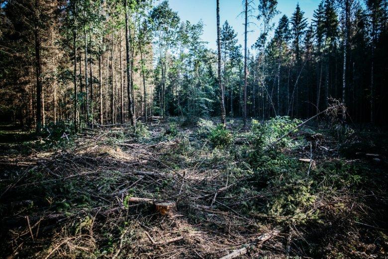 Wycinka w Puszczy Białowieskiej to problem dla wielu firm, które zostały w tę awanturęwciągnięte wbrew własnej woli.