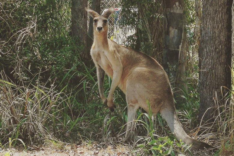 Stoją i patrzą. Tak samo jak na drodze, właśnie dlatego kangury tak często giną pod kołami aut.
