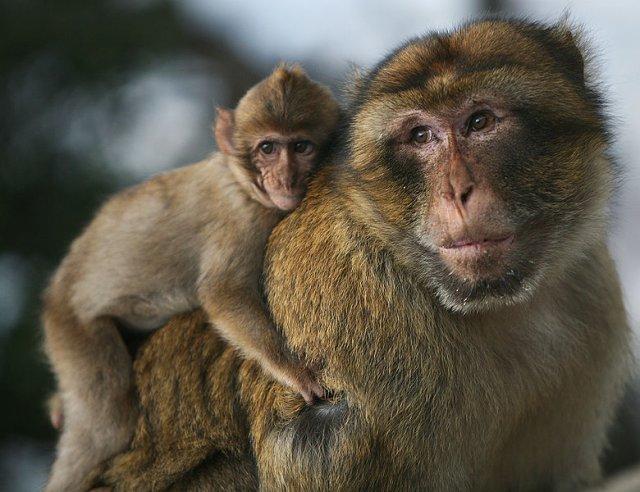 Tata makak ze swoim dzieckiem