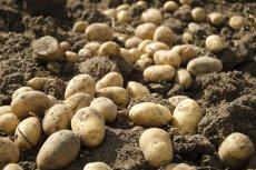 [url=http://shutr.bz/1hKplEh]Ziemniaki dwa razy droższe niż przed rokiem, a ceny będą dalej rosły. Nadal zjemy 95 kg na osobę?[/url]