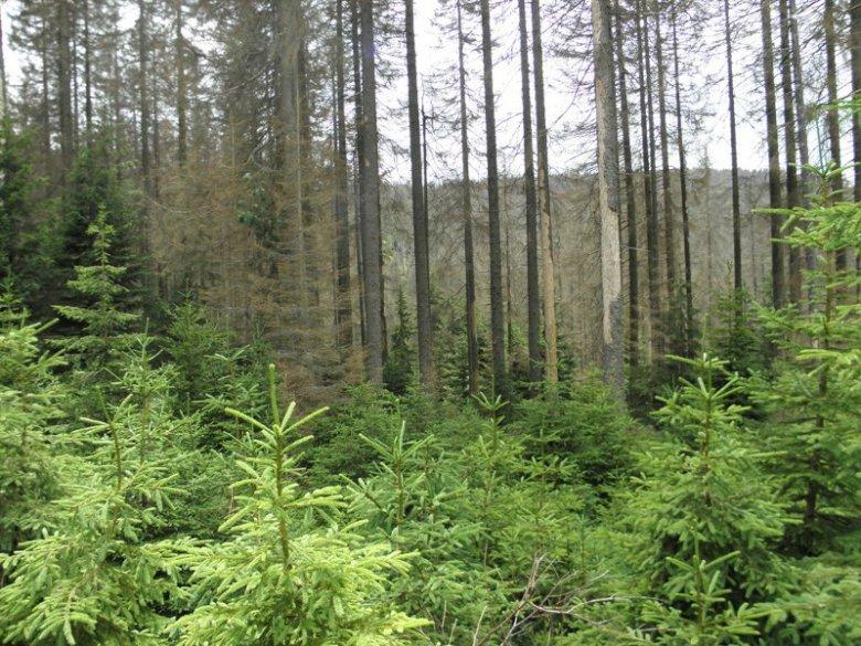 Las Bawarski tak się regeneruje.