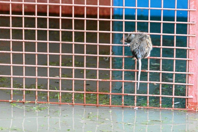 Szczury we Wrocławiu sądosłownie wszędzie.