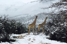 Turyści są zachwyceni opadami śniegu w RPA.