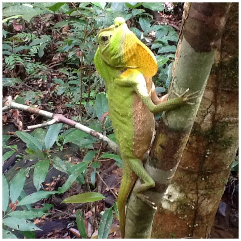 Agama zielona, Sinharaja Rarainforest, Sri Lanka