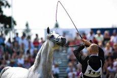 W paszy koni z Janowa znaleziono trujący antybiotyk.