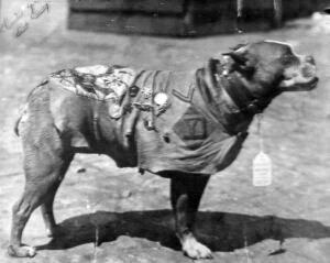 Sierżant Stubby – bohater I wojny światowej.