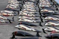 Zabite delfiny białobokie w miejscowości Hvalba