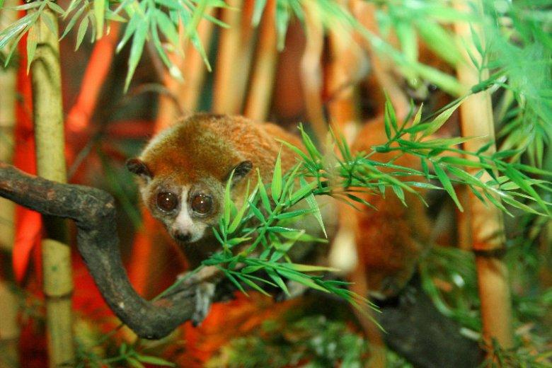 Małpiatki lori to gatunek chroniony. Czy powinny być hodowane w domu?