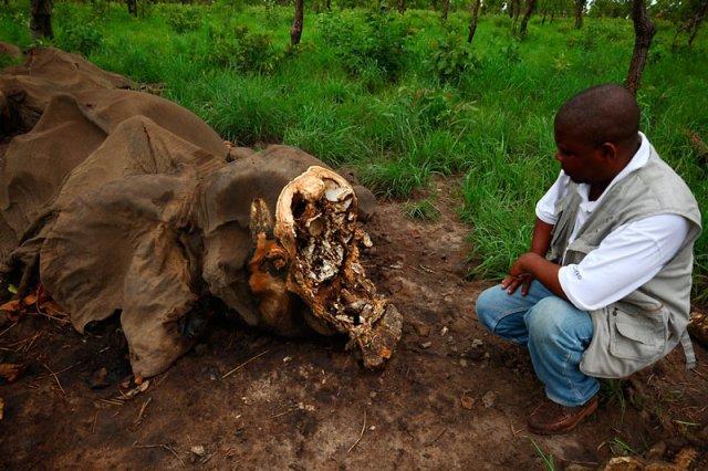 Jeden ze słoni zabitych w Kamerunie.