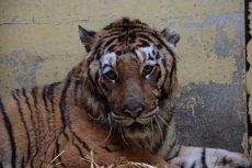 Jeden z tygrysów, które zostały uratowane z transportu jest w bardzo złym stanie.