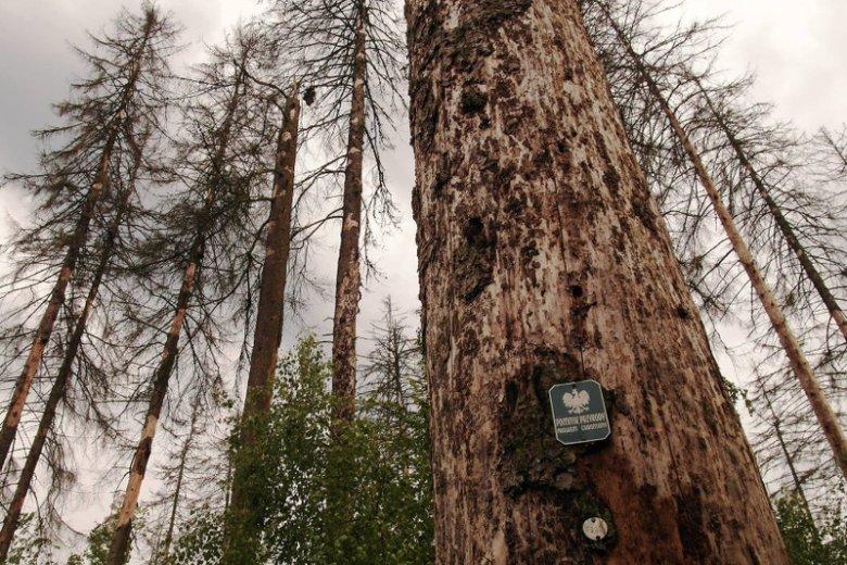 dead spruce Białowieża