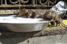 Plaga szczurów opanowuje kolejne polskie miasta. To ustawa śmieciowa przyczyniła się do tego, że gryzonie czują się w zaśmieconych aglomeracjach coraz lepiej?